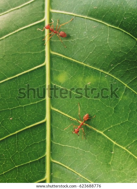 Close up macro red ants walking on the green leaf.