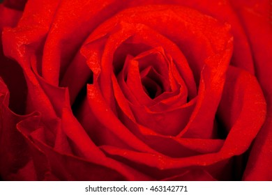Close up macro of a red rose. Can be used as background