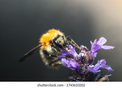 A close up macro shot of a carder bee pollinating a purple flower.