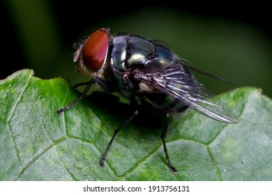 Close up : A macro shot of house fly, Fly on leaf, Insect, Bug, Animal and nature.