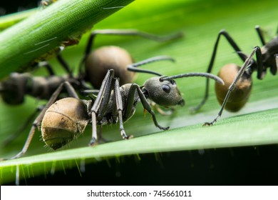 close up macro shot with insect bug black ants on a green leaf