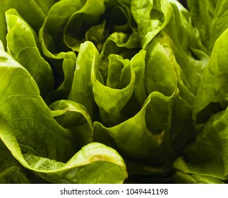 Close up Macro shot of leafy lettuce