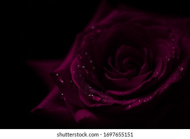 A close up macro shot of a purple rose, black background with water drops