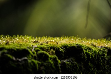Close up macro shot Soft light to Moss on tree roots, branch and log in a green forest or moss on tree trunk. Tree bark with green moss. Selective focus for back ground