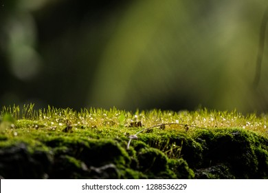 Close up macro shot Soft light to Moss on tree roots, branch and log in a green forest or moss on tree trunk. Tree bark with green moss. Selective focus for back ground with fern and dew drops