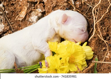 close up macro shot white new born french bulldog puppy dog dead body burial funeral with yellow cosmos flowers with copy space ,  dog burial funeral  concept