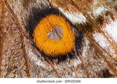 Close up macro shot of the wing of the Suraka Silk Moth (Antherina suraka) in Ranomafana national park, Madagascar