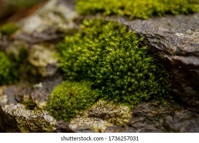 Close up macro of true moss (bryopsida) on raw moist stones in the forest. Shallow depth of field with space for copy