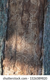 Close up macro of trunk of a dead tree damaged by emerald ash borer insect - invasive specie in North America.