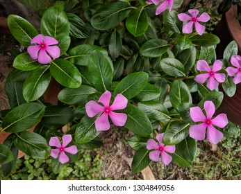 Close up of Madagascar Periwinkle (Catharanthus roseus) pink flowers with star shaped five petals