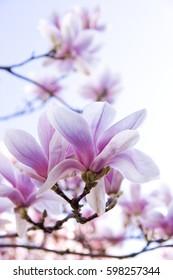 Close up of magnolia flowers on blue sky
