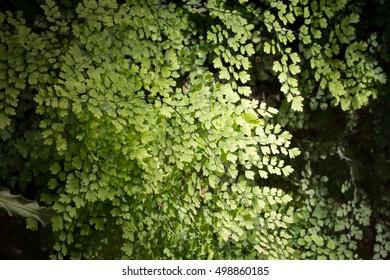 close up of maidenhair fern