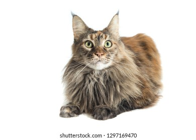 close up of main coon female with careful look