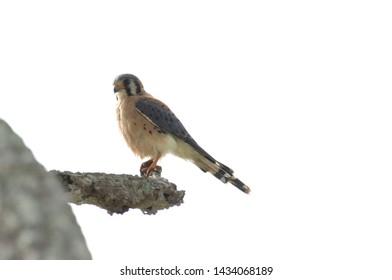 Close up of a male American kestrel (Falco sparverius)