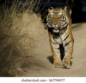 A close up of a Male Bengal Tiger.Image captured during a safari at Bandhavgarh National park in Madhya Pradesh,India Scientific name- Panthera Tigris