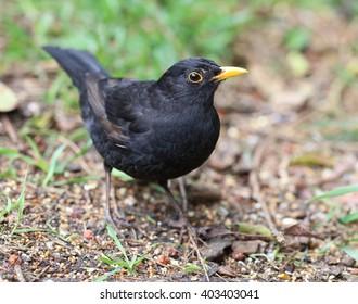 Close up of a male Blackbird