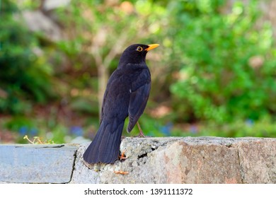 Close up of a male Blackbird sitting on a wall looking towards the right.