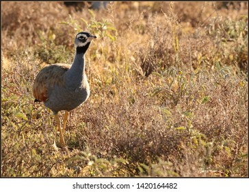 Close up of a male Blue Korhaan, Eupodotis caerulescens, standing in typical dry Karoo vegetation.