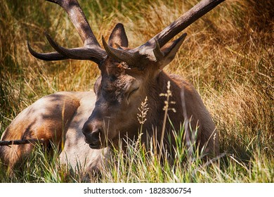 Close up of Male bull elk resting in Estes Park Colorado