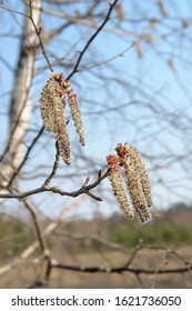 A close up of male catkins of aspen (Populus tremula) in the forest on a windy april day. The flowers of aspen against the light blue sky