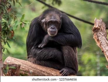 Close up of a male chimpanzee at Indira Gandhi Zoological Park, Visakhapatnam, India.