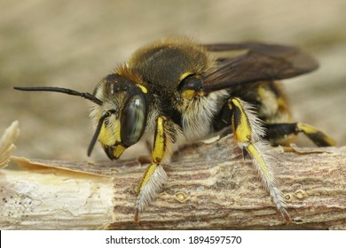 Close up of a male common carder bee , Anthidium manicatum on a piece of wood