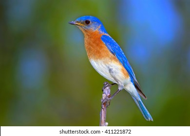 Close Up Of Male Eastern Bluebird Perched On Branch