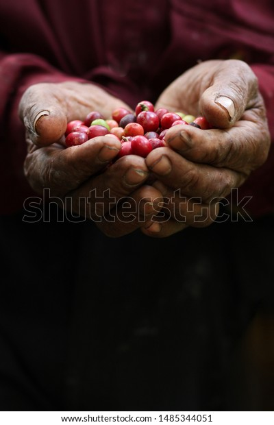 Close up of male farmer hands with red organic coffee beans for harvesting.