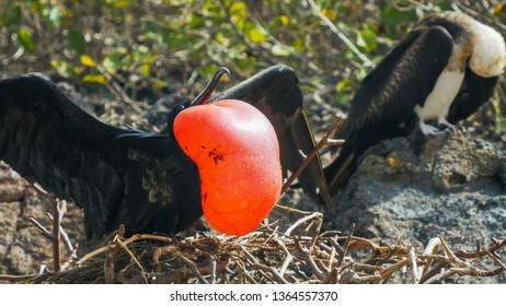 close up of a male and female magnificent frigatebird on isla genovesa in the galalagos islands, ecuador