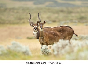 Close up of a male and female Mountain Nyala standing in the grass, Ethiopia.