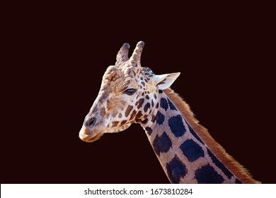 Close up of a male giraffe isolated on a dark background
