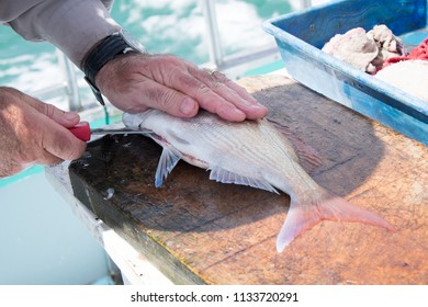 Close up of male hand filleting a snapper fish on a fishing charter boat in Far North, Northland, New Zealand, NZ