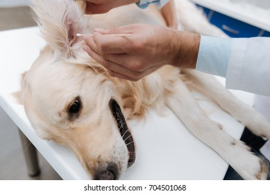 Close up of male hand that cleaning ears of sick dog
