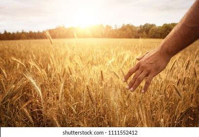 Close up of male hand in the wheat field with copy space