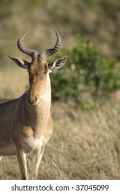 Close up of a Male Hartebeest