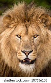 close up of male lions face