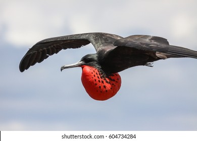 Close up of a male Magnificent frigatebird in flight with red pouch, Galapagos, Ecuador