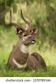 Close up of a male Mountain Nyala lying on the grass, Ethiopia.