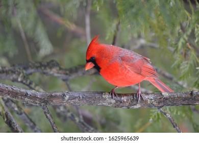 Close up of a male Northern Cardinal bird