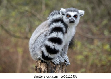 Close up of a male Ring-Tailed Lemur (Lemur catta)