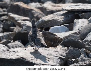 Close up male rock ptarmigan, Lagopus muta, standing on rock stones at Lapland mountain in summer. Selective focus