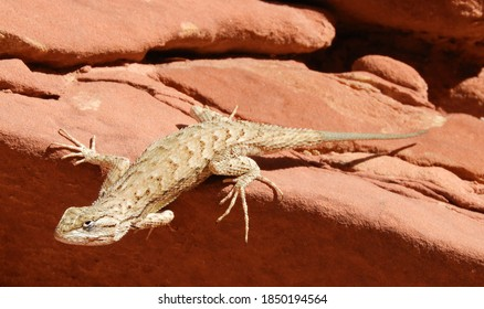close up of a male western fence lizard perched on  red rock along the uneva canyon hiking trail in the san rafael swell, near green river, utah