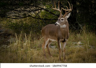 close up  of a Male white tail buck foraging during fall rutting season
