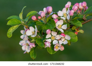 Close up of malus blossom in bloom