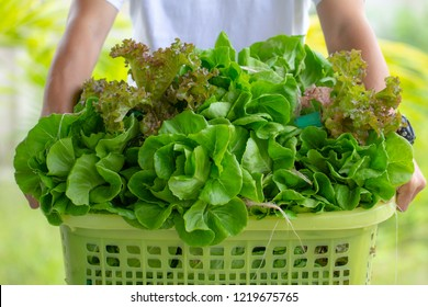 Close up man holding basket box full with fresh vegetables Green Cos Romaine and Red Coral Lettuce from garden organic farm. bio Hydroponic plant harvest and healthy organic food concept.
