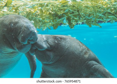 Close up Manatee under water look at  camera