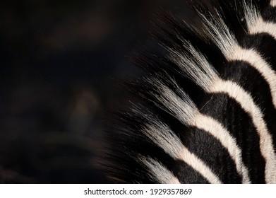 Close up of a Zebra's mane seen on a safari in South Africa