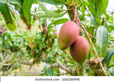 Nahaufnahme von Mango-Früchten auf einem Mango-Baum