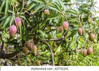 Mango Tree Images Free Download
