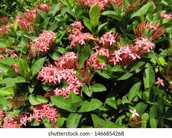 Close up of many bouquet Beautiful Pink  Bunga Soka or Asoka or King Ixora flower chinensis blooming in garden. Red spike flower, Rubiaceae, Ixora coccinea, soka, ki soka, pechah priok todong periok